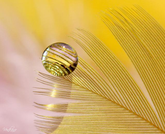 Nevena Uzurov - Golden plumelet