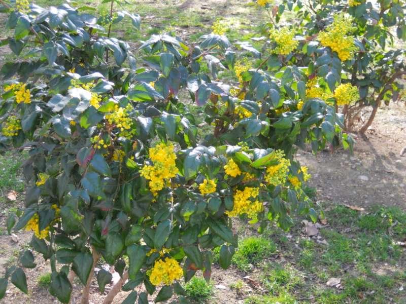 Mahonia aquifolia 2