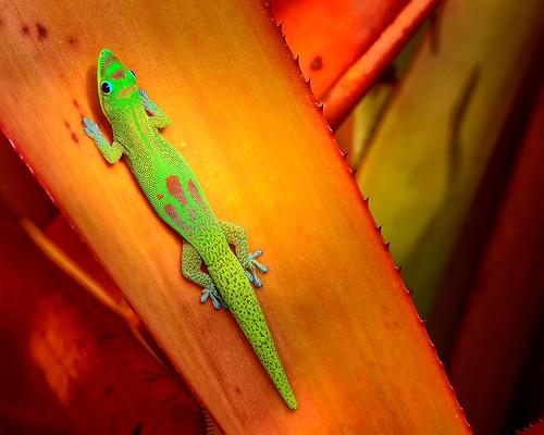 "hawaii lizard gecko 1001nights nationalgeographic kailuakona bigislandofhawaii golddustdaygecko anawesomeshot colorphotoaward phelsumalaticaudalaticauda tokina100mmf28atxprod paololivornosfriends ""flickraward"" nikond7000 mygearandme mygearandmepremium mygearandmebronze hawaiianvirtualtours geckobox"
