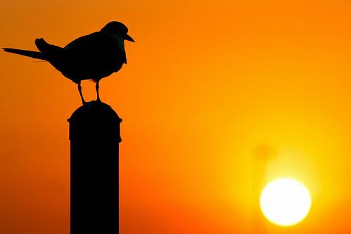sunset 20d canon chica bolsa tern f4 salah 70200mm bmse baazizi