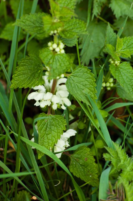 Nettle flower