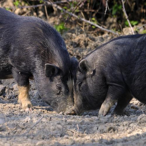 black nature animals pig natura pigs ringexcellence maialenanovietnamita