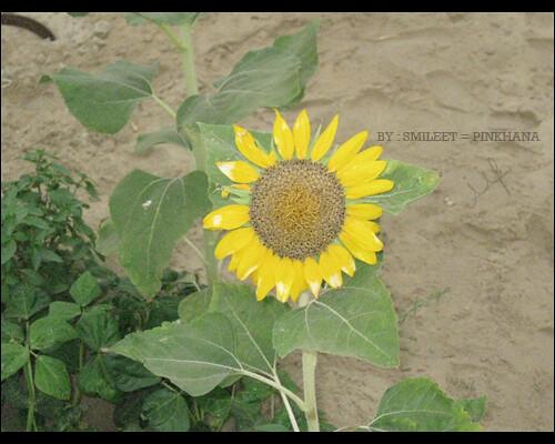على ورقة تباع الشمس نامت قطورة الندى نادى بخار الماء ه Flickr