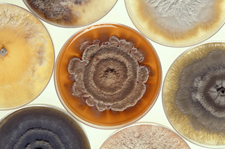 Phomopsis Mold | by Microbe World