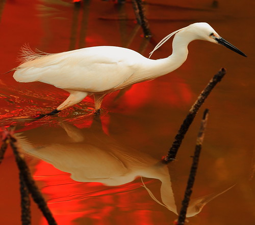sunset red white reflection bird nature water canon eos is ngc great taiwan npc 5d taipei usm egret ef greategret waterreflection 70200mm f28l 70200mmf28 specanimal avianexcellence canoneos5dmarkii 10nw 5d2 5dmark2 bestcapturesaoi mygearandme mygearandmeplatinum mygearandmediamond canonef70200mmf28liiisusm allnaturesparadise 5wonderwall aboveandbeyondlevel4 artistoftheyearlevel5 artistoftheyearlevel6