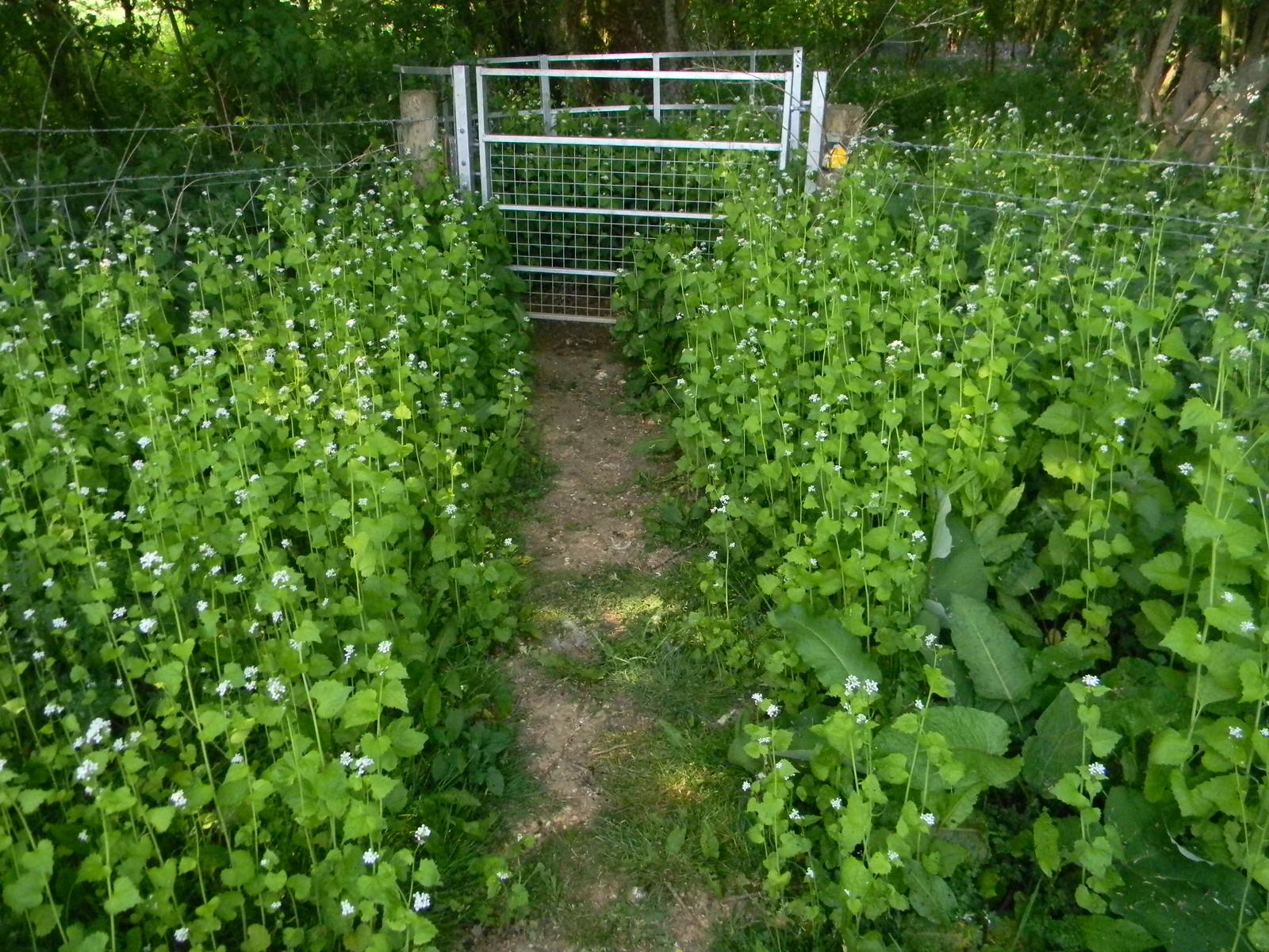 Hedge garlic Overton Circular