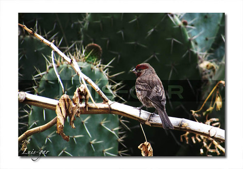 Gorrion carpodacus mexicanus_1939