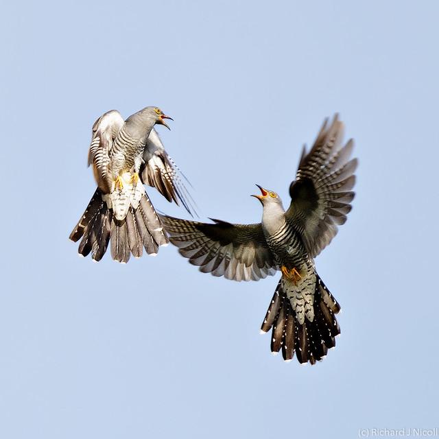 Cuckoos (Cuculus canorus) fighting