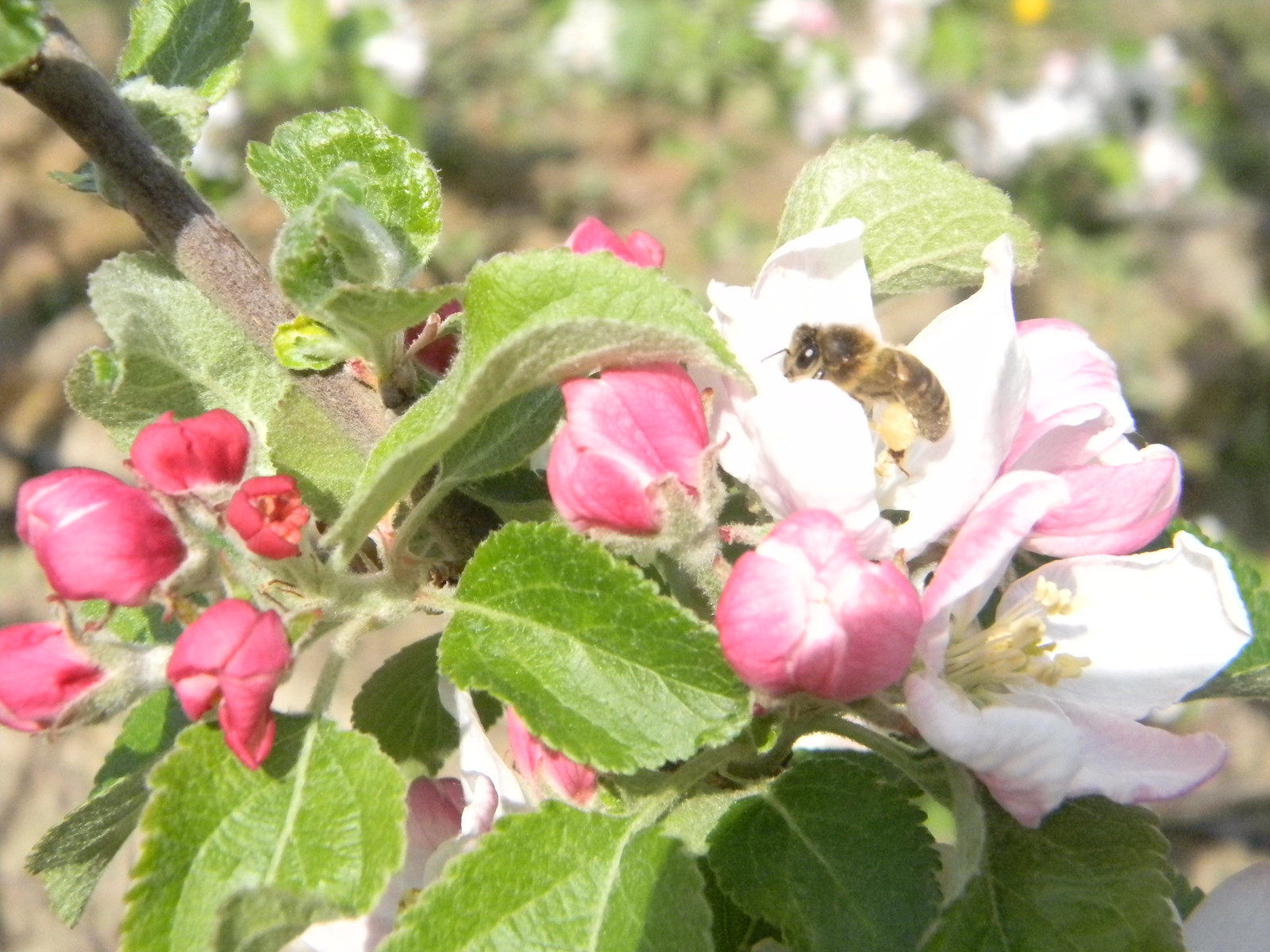 Apple blossom Yalding to Sevenoaks With added bee.