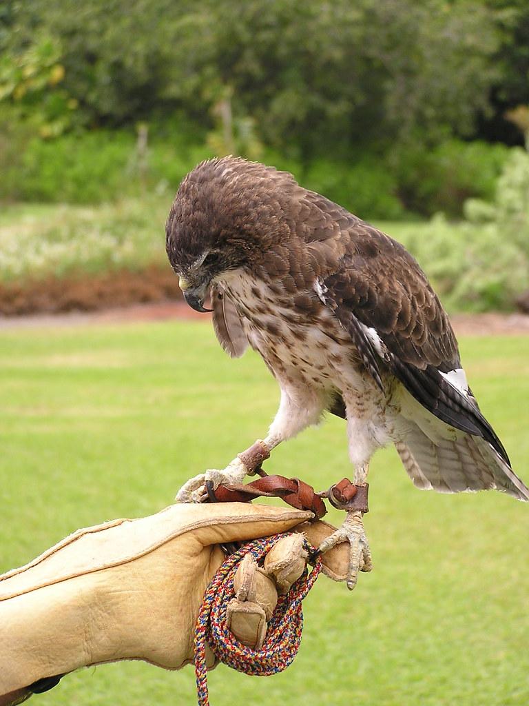 P1010050 Falcon