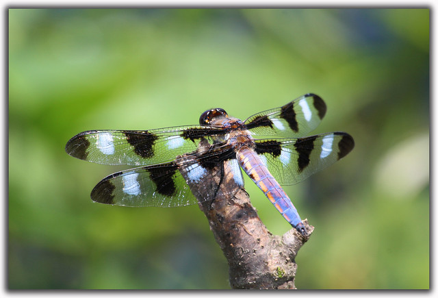 Twelve-spotted Skimmer Male