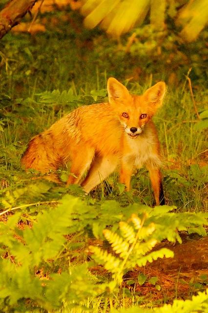 MAP2394 Red Fox—Steely Gaze