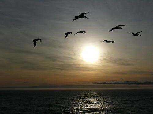 ca sunset pelicans northerncalifornia humboldt pacific lostcoast sheltercove humbolt rrrandom rchan415