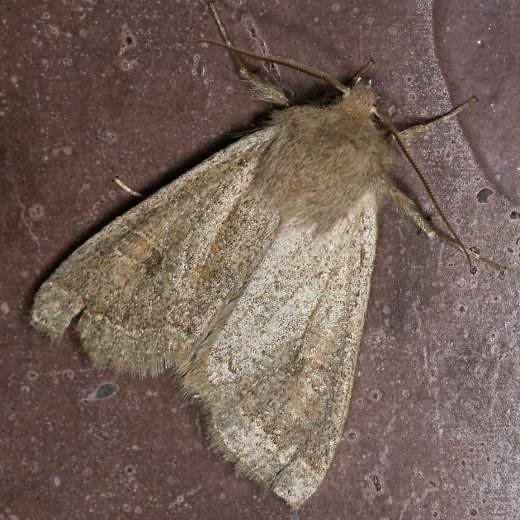 オルトシア属 Orthosia sp. | 2...