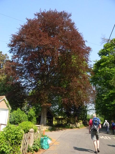 Copper Beech, Ashe churchyard Overton Circular