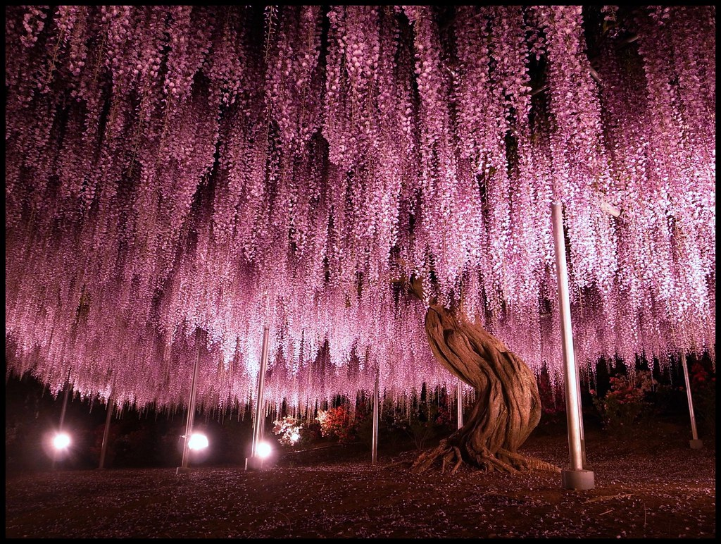 Parque de Flores Ashikaga