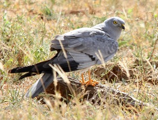 Montagu's Harrier | by don_macauley