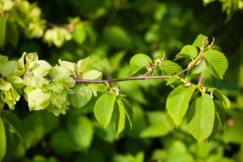 Elm fruiting