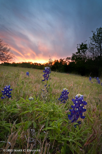 sunset floral texas bluebonnets navarromills