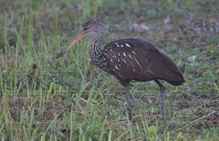 Limpkin, Shark Valley, Everglades NP, FL
