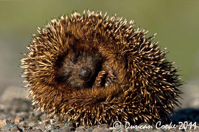 IMG_9357-Baby-Hedgehog..