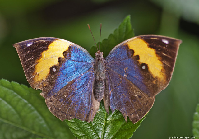 Butterfly - Kallima inachus