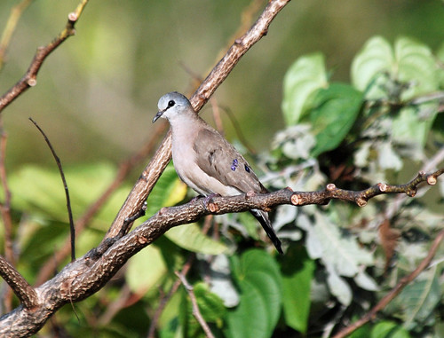 Black-billed Wood-Dove, Poli, Cameroon | by Terathopius