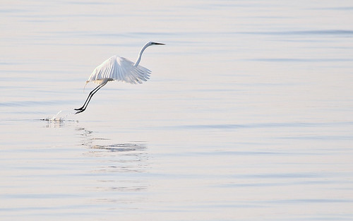 water sunrise nikon florida egret clearwater d300 nikoncapturenx nikond300 sigma150500