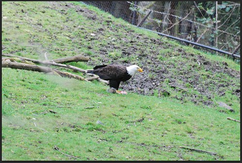 Wild Bald Eagle At The Zoo | by zenseas