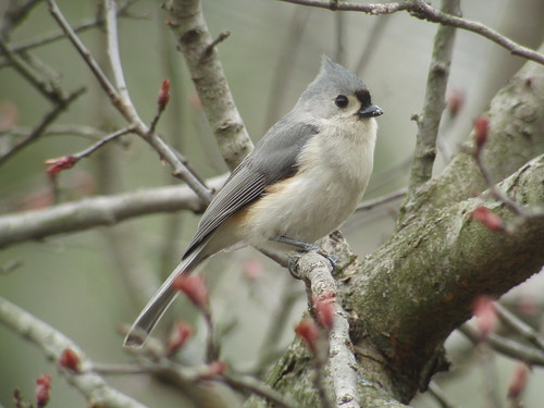 Tufted Titmouse, Armstrong Twp., Indiana County, PA | by Marg Higbee