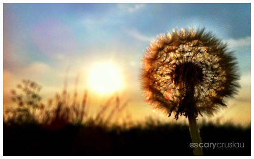 camera flowers blur nature flickr bokeh dandelion iphone iphoneography iphoneographie pocketplastic