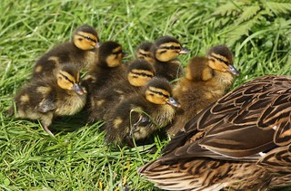 Mallard (Anas platyrhynchos) ducklings | by Deanster1983 who's on and off