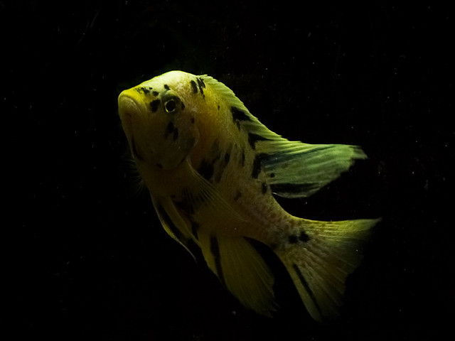 Speed fish