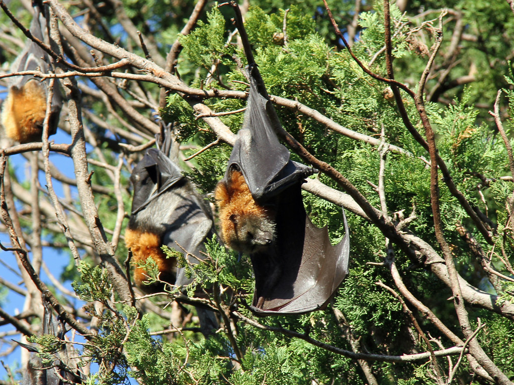 Image result for gray headed flying fox