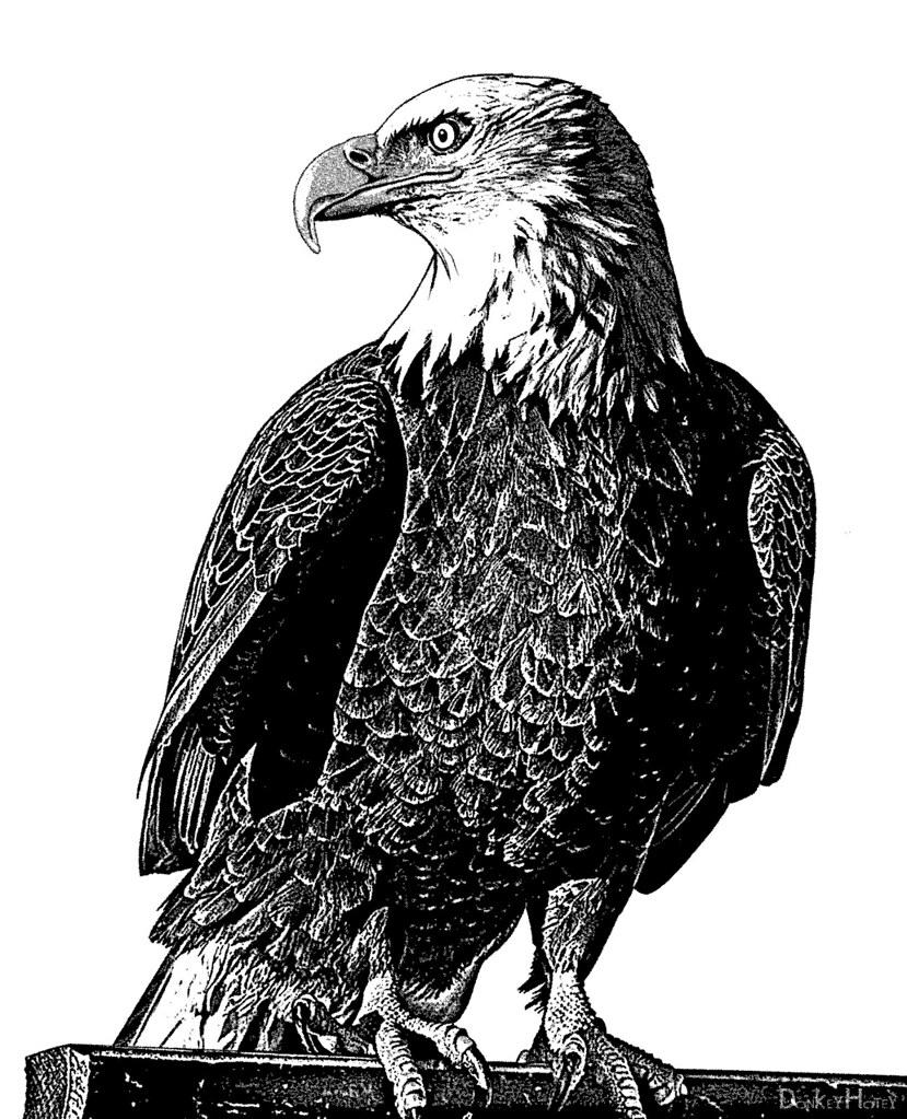 Bald Eagle - Illustration | Eagle in black and white ...