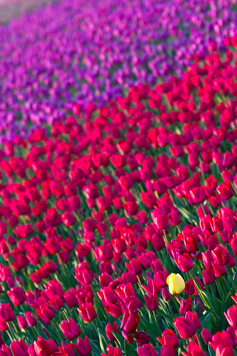 Tulip fields | by mfeingol