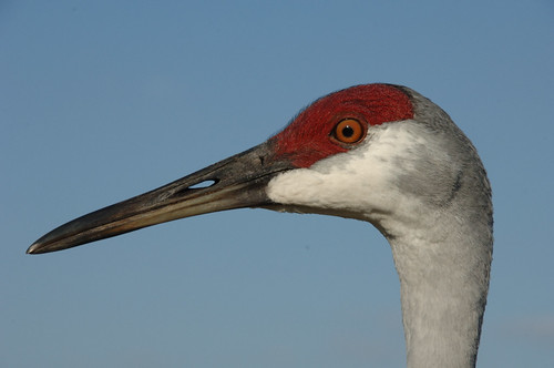 orange macro bird eye nature birds florida crane beak fowl sandhill sandhillcrane msoller