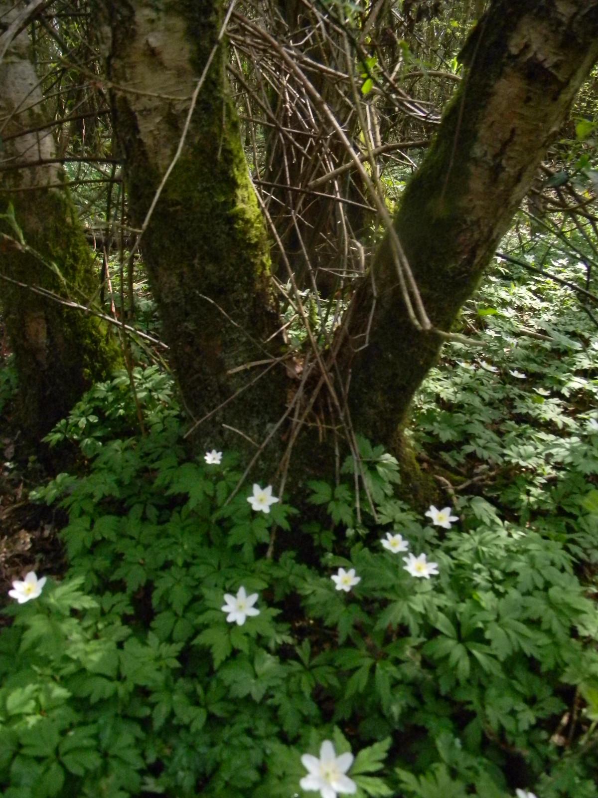 Wood anenomes Robertsbridge circular (short)