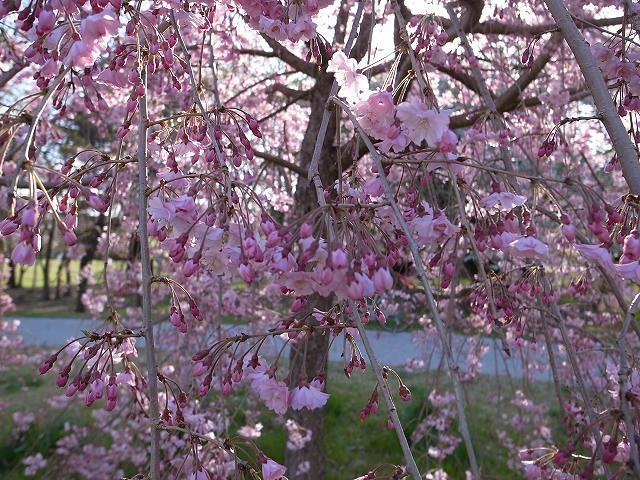 <p>e)若い枝垂桜は鮮やかピンク色</p>