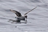 Fork-tailed Storm Petrel by Keith Carlson