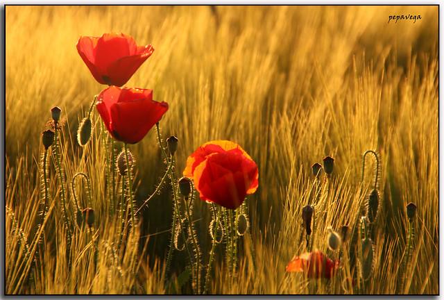 Amapolas en campo de trigo