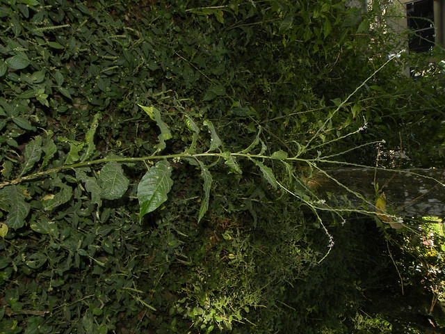 Petiveria alliacea L.