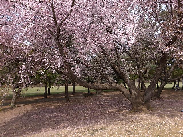 <p>b)四方にのびのびと広がってる桜の木</p>