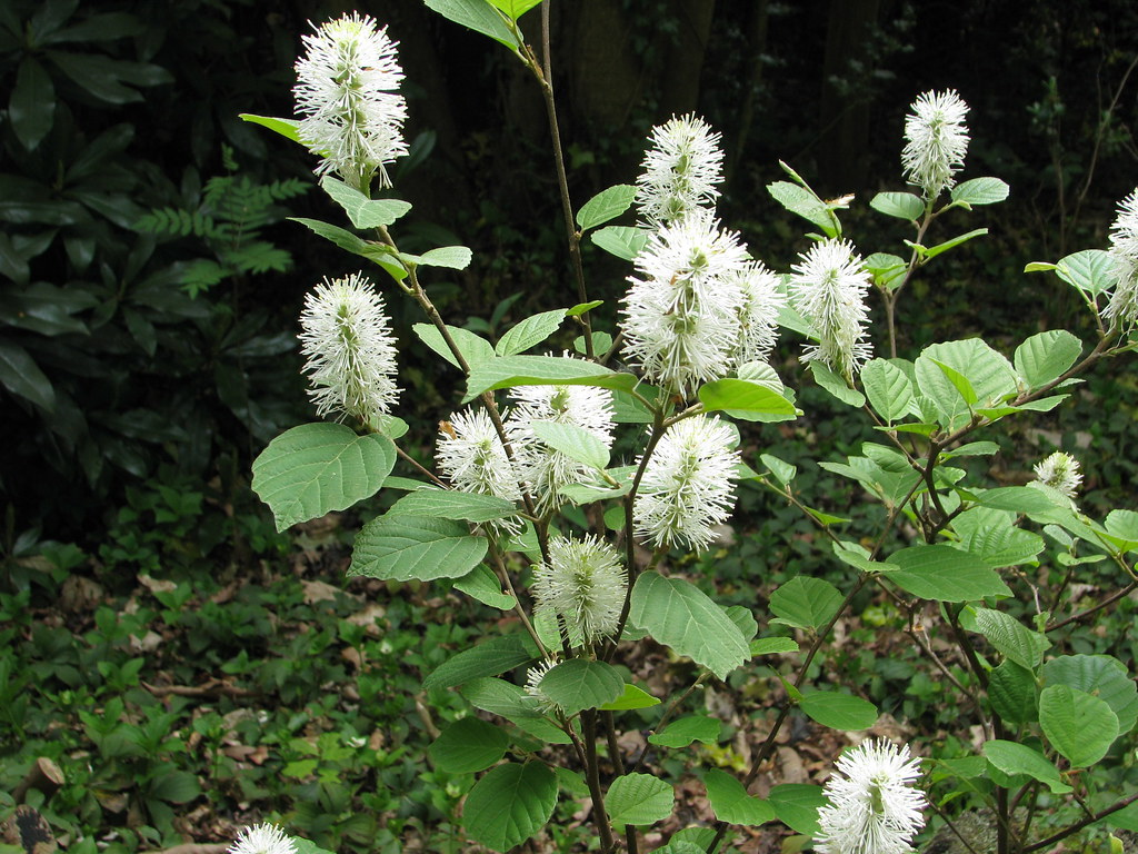 Fothergilla major | F.major (aka monticola) flowers with the… | Flickr