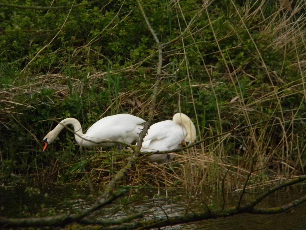 Wild swans Huntingdon Circular