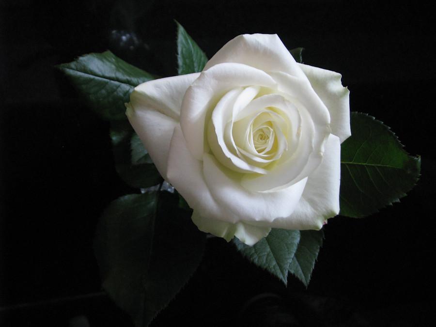 Gorgeous white rose. Великолепная роза ! IMG_1653