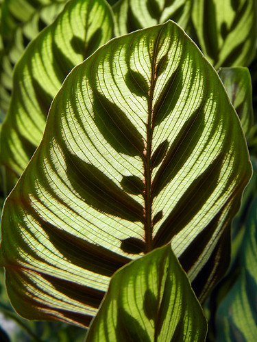 Back-lit Peacock Plant (Calathea makoyana) leaves in Singapore Botanical Garden