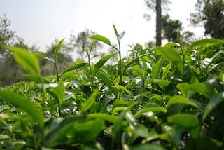 Connemara Tea Plantation | by habi