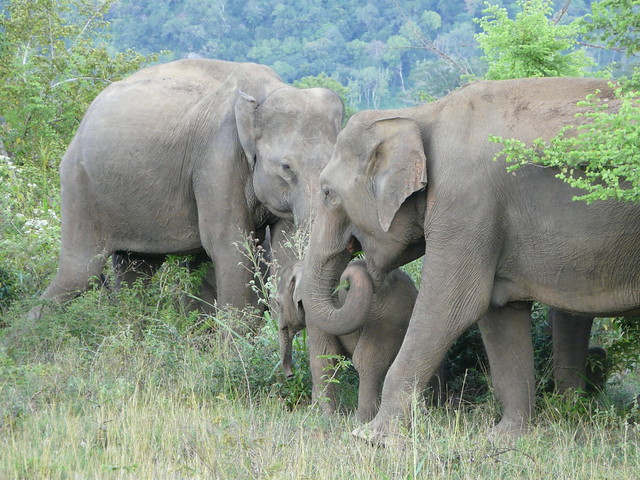 Elefantes en Sri Lanka (Huluru)