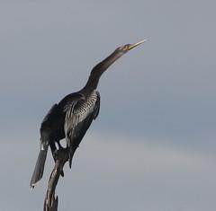Anhinga, Viera Wetlands, Viera, FL